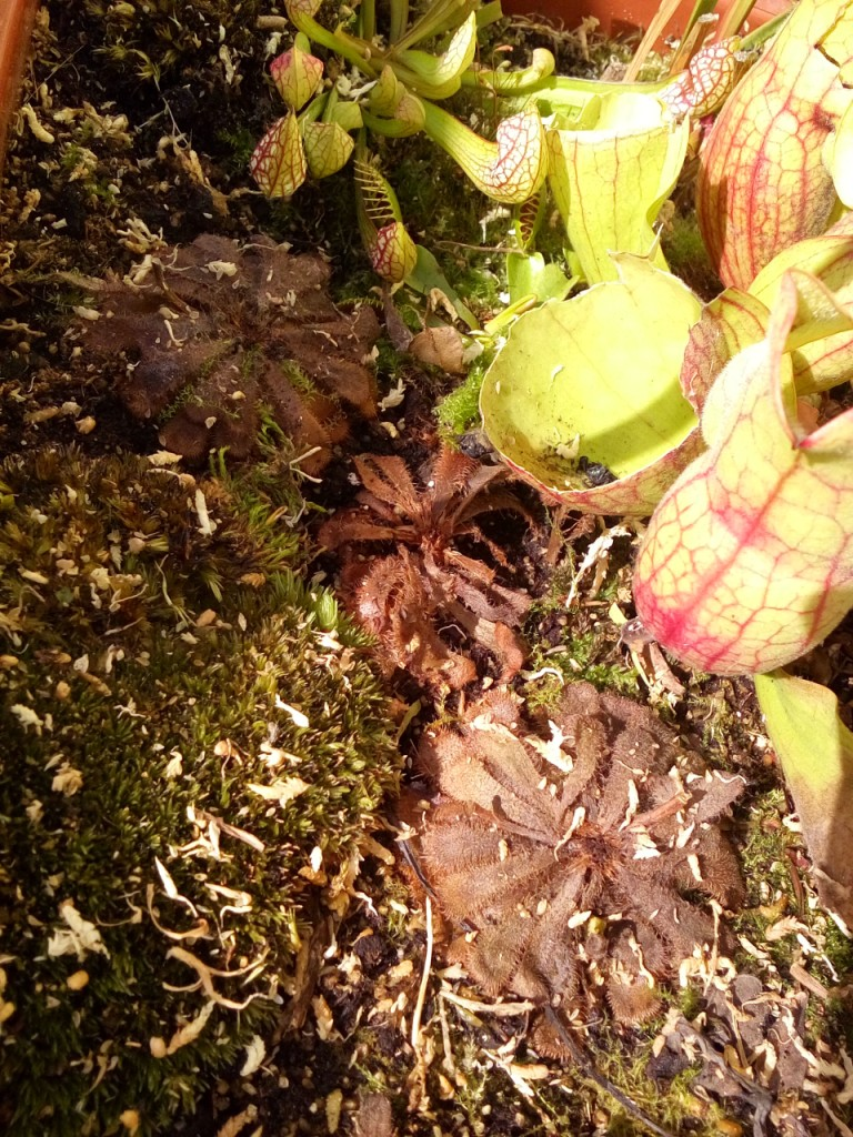 wiosna w donicy rosiczki aliciae