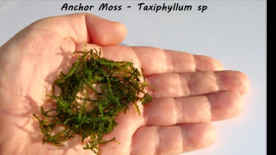 Anchor Moss - Taxiphyllum sp