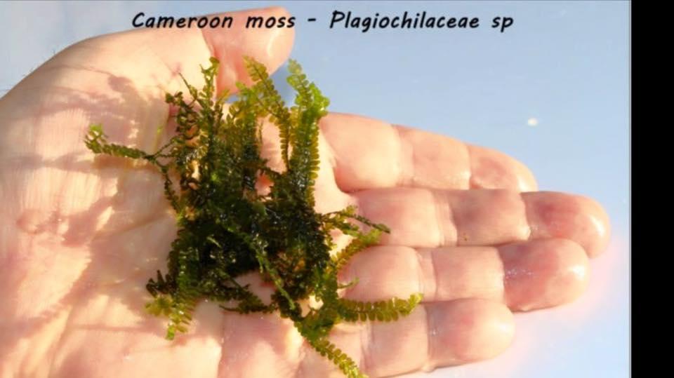 Cameroon moss - Plagiochilaceae sp