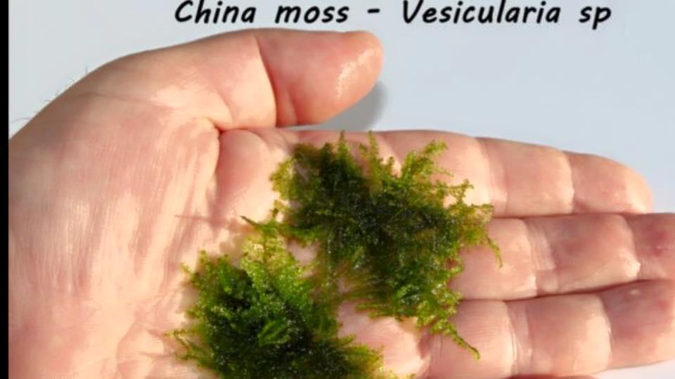 China moss - Vesicularia sp