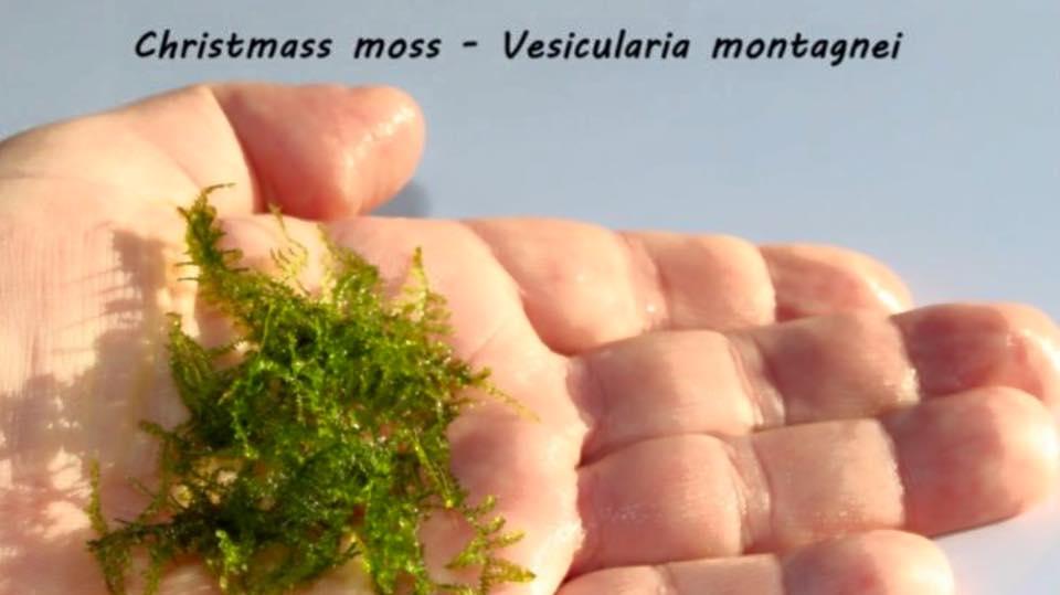Christmass moss - Vesicularia montagnei