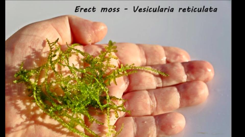 Erect moss - Vesicularia reticulata
