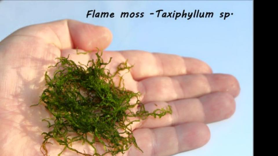 Flame moss - Taxiphyllum sp