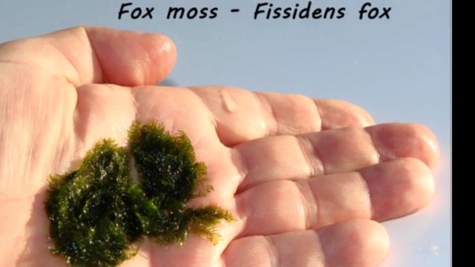 Fox moss - Fissidens fox