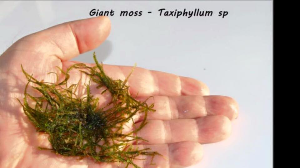Giant moss - Taxiphyllum sp