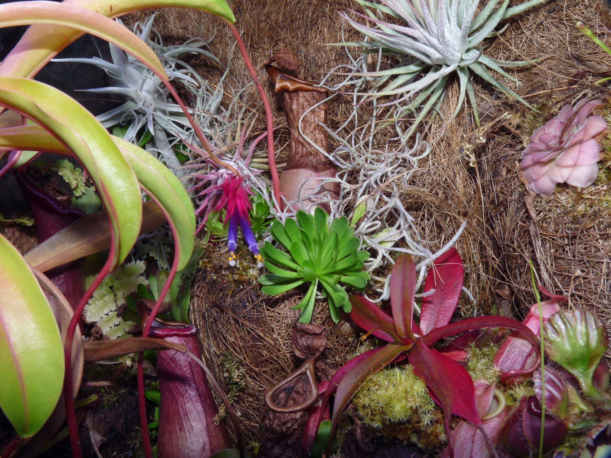Kwitnąca Ionantha rubra i jej towarzystwo