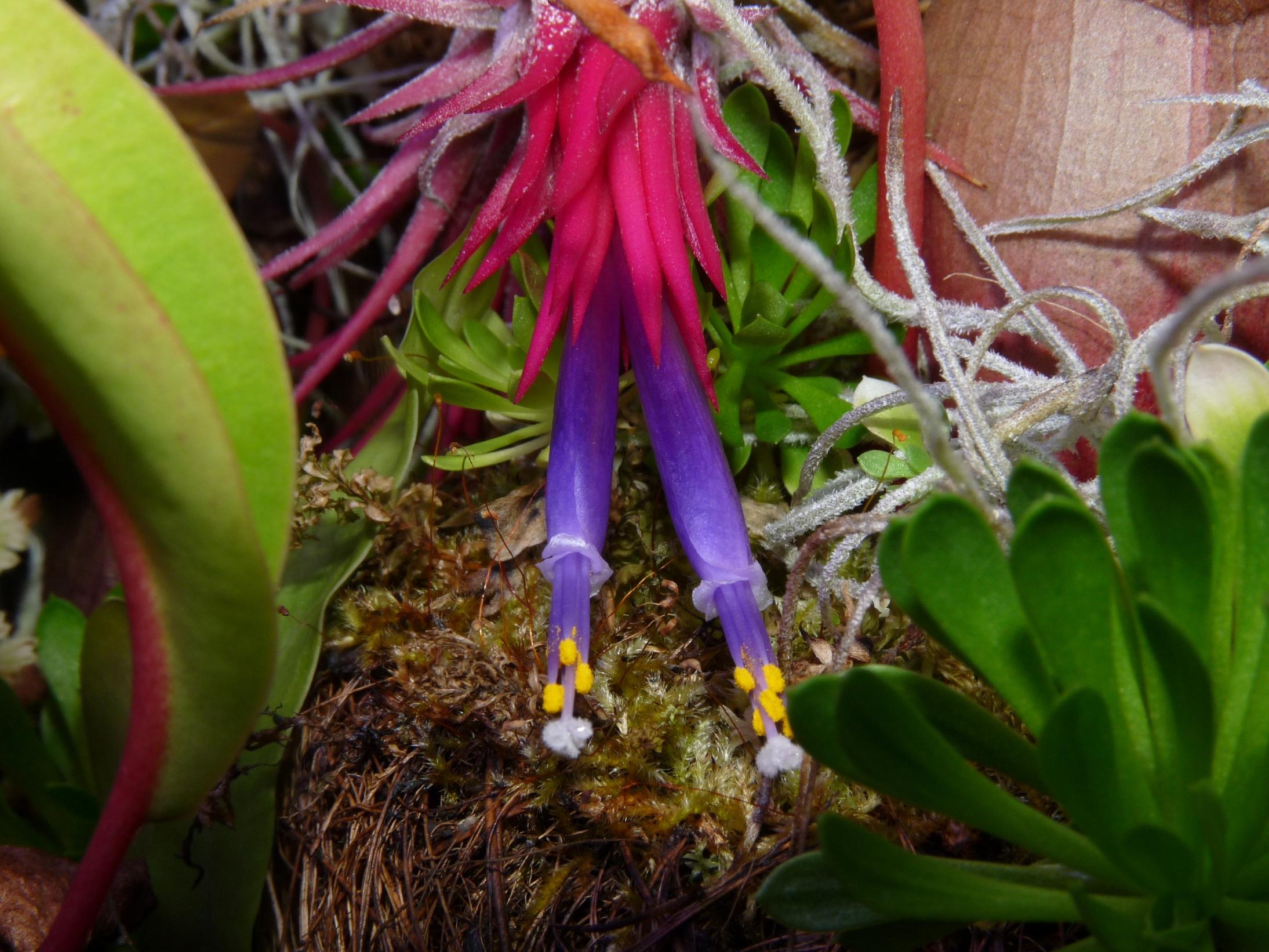 Kwiat Ionantha rubra