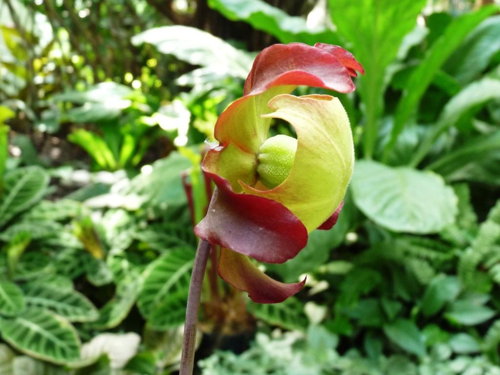 kwiat kapturnicy