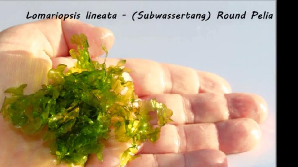 Lomariopsis lineata - Subwassertang Round Pelia