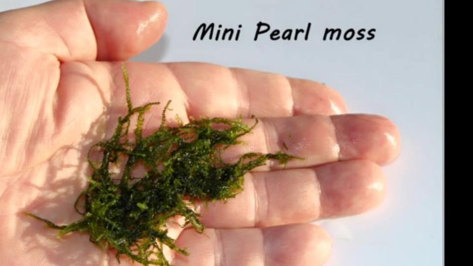 Mini Pearl moss