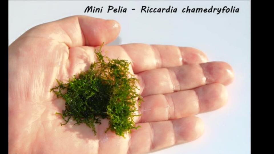 Mini Pelia - Riccardia chamedryfolia