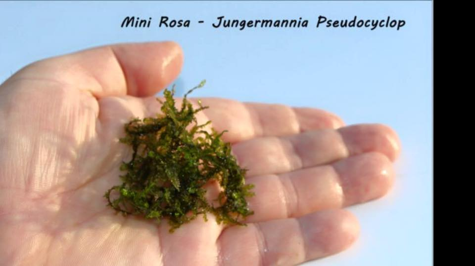 Mini Rosa - Jungermannia Pseudocyclop