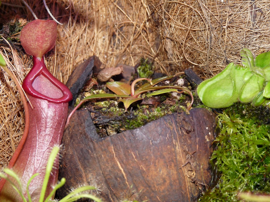 Nepenthes bellii 4
