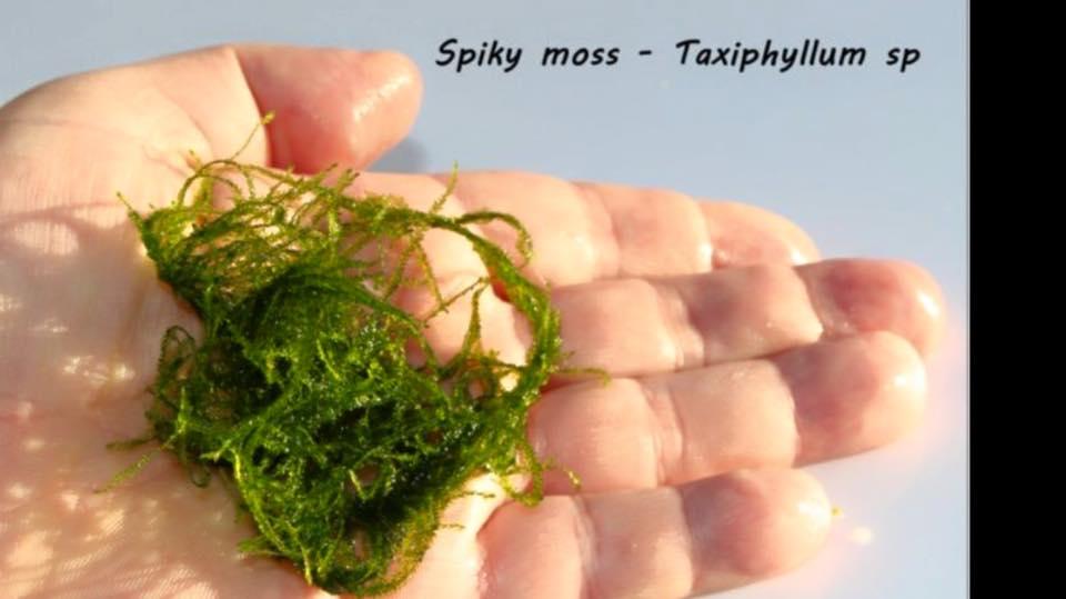 Spiky moss - Taxiphyllum sp