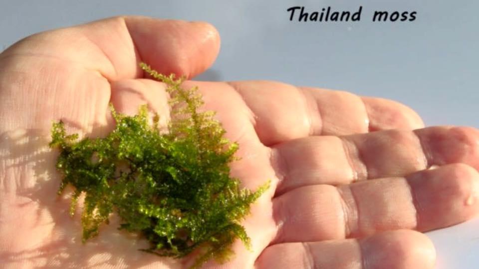 Thailand moss