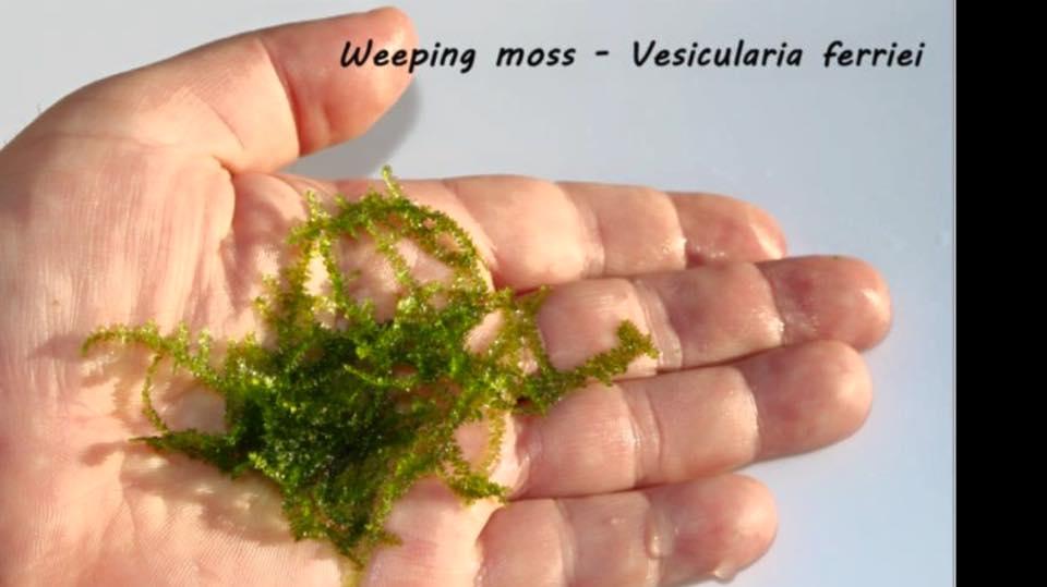 Weeping moss - Vesicularia Ferriei