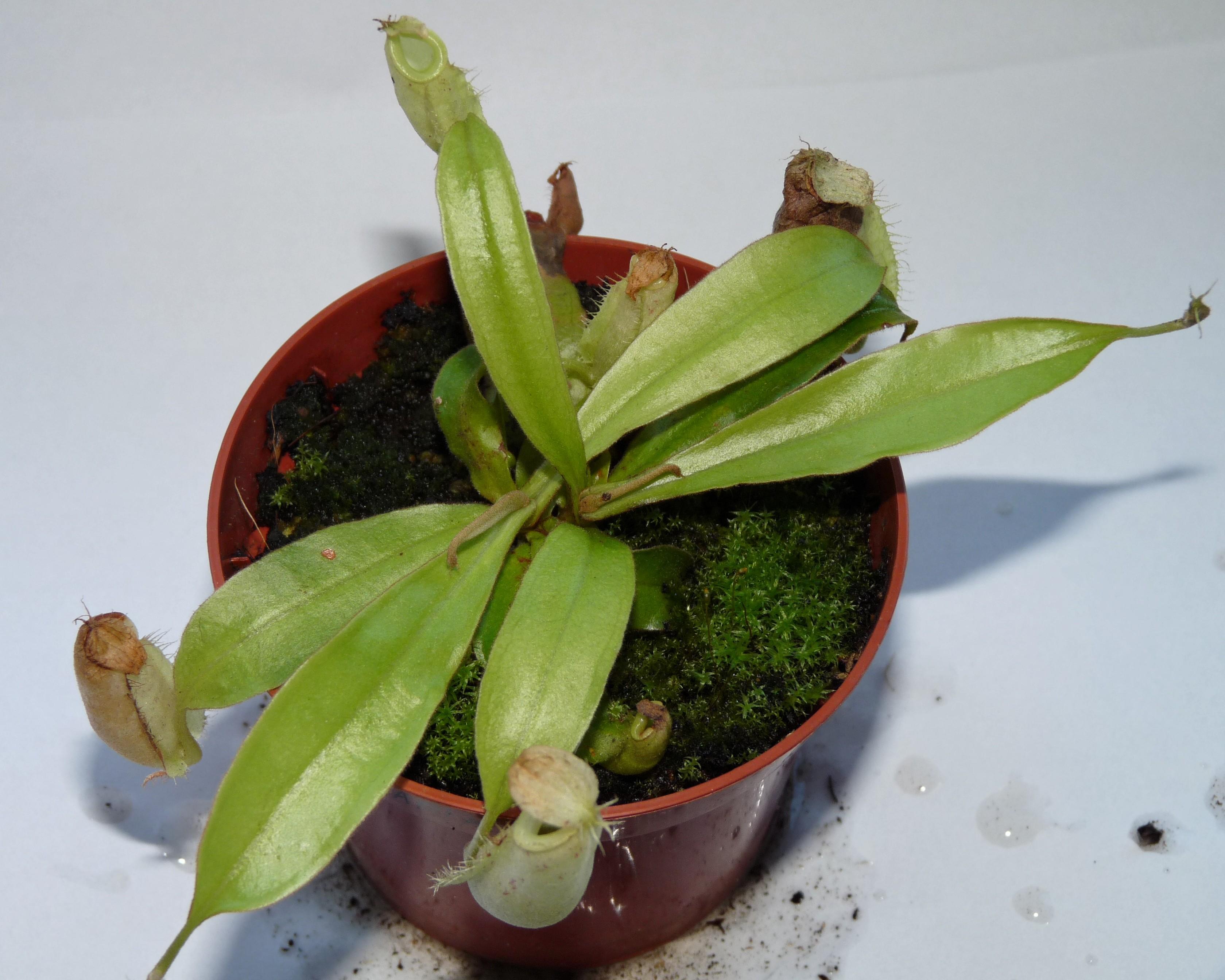 Nepenthes Ampullaria 2