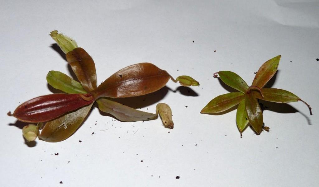 belli i ampullaria lightly