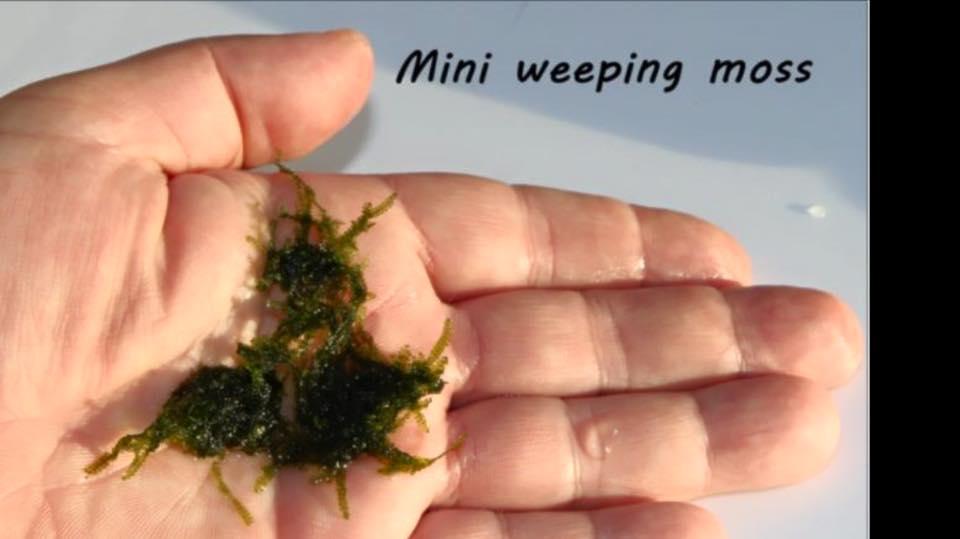 Mini weeping moss