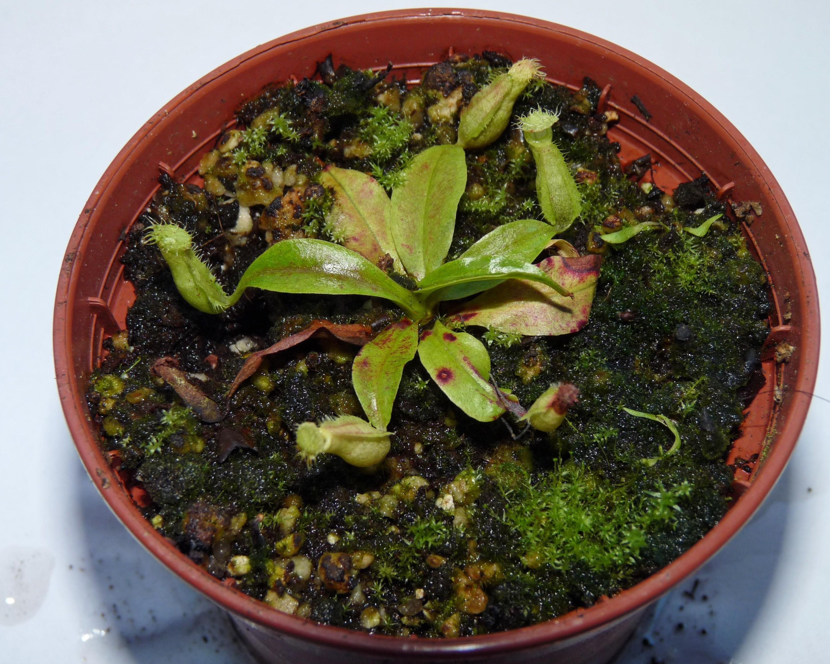 rafflesiana nep