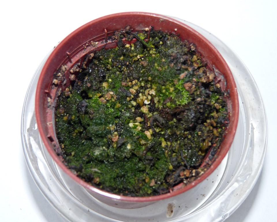 muchołówka wacky trap