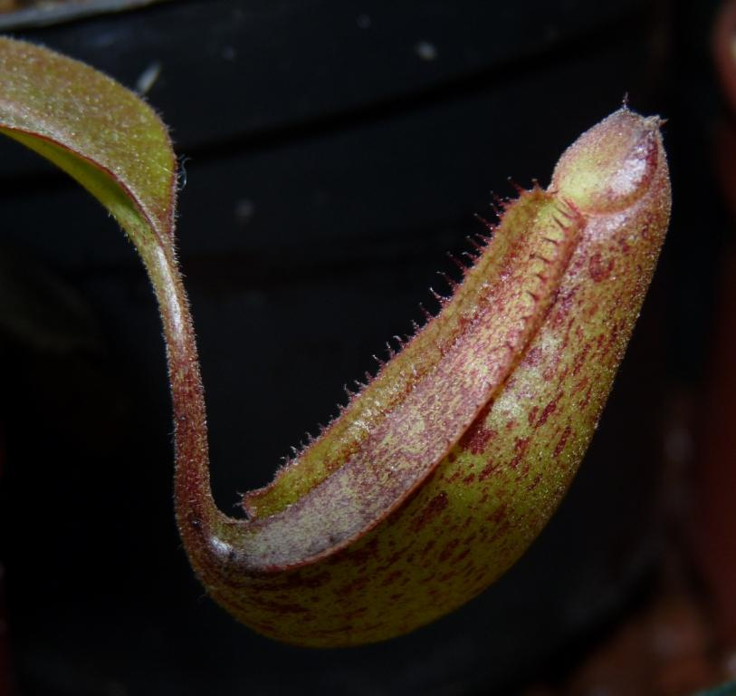 nepenthes miranda
