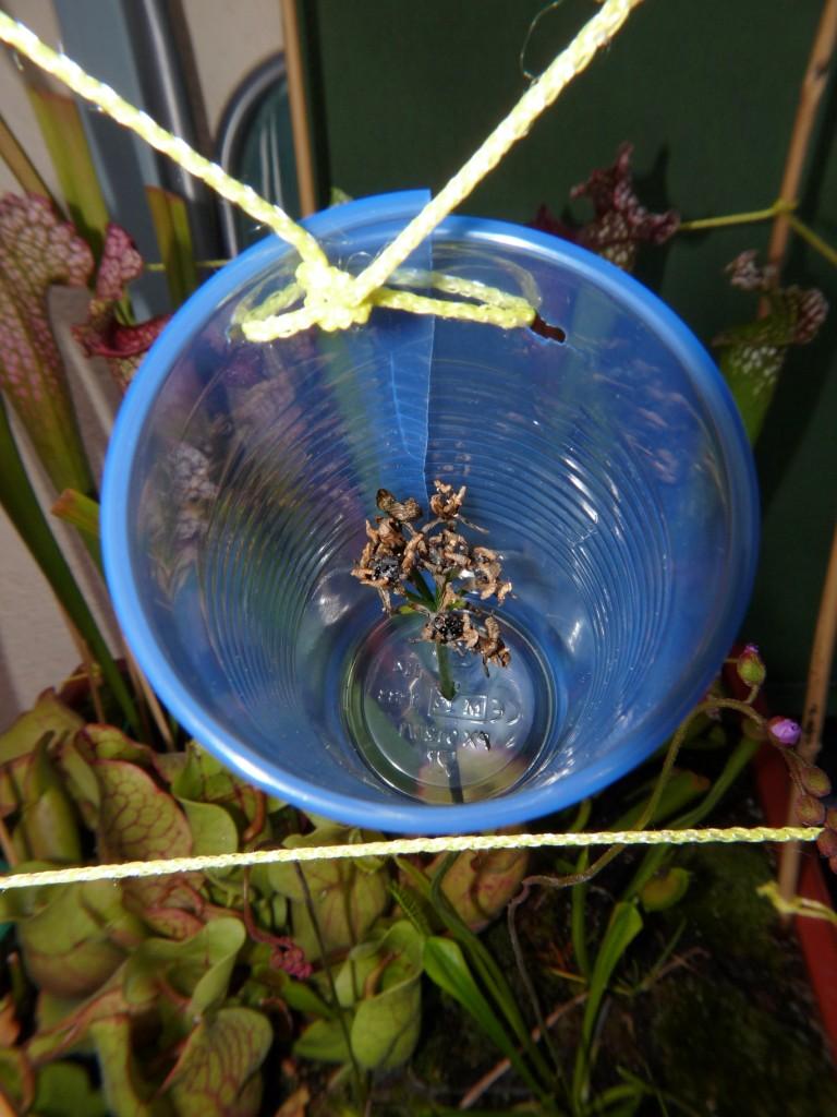zbieranie nasion muchołówki
