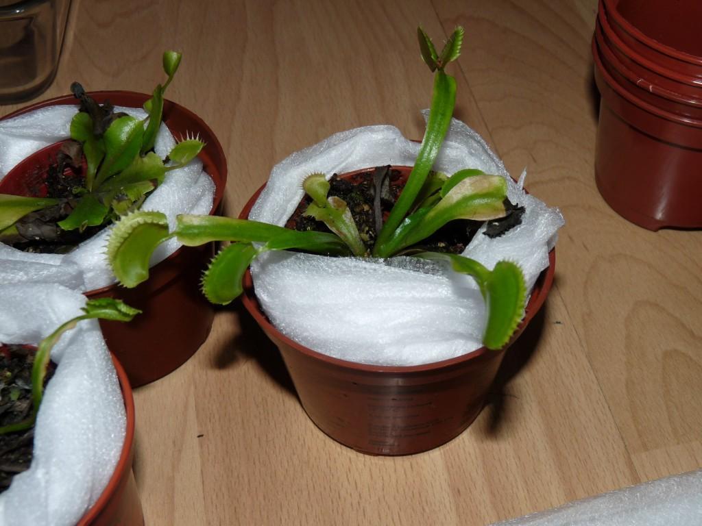 zabezpieczona muchołówka na zimę