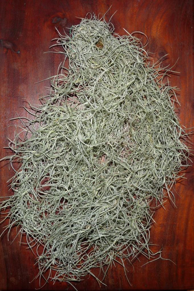 Tillandsia usneoides peruwiańska