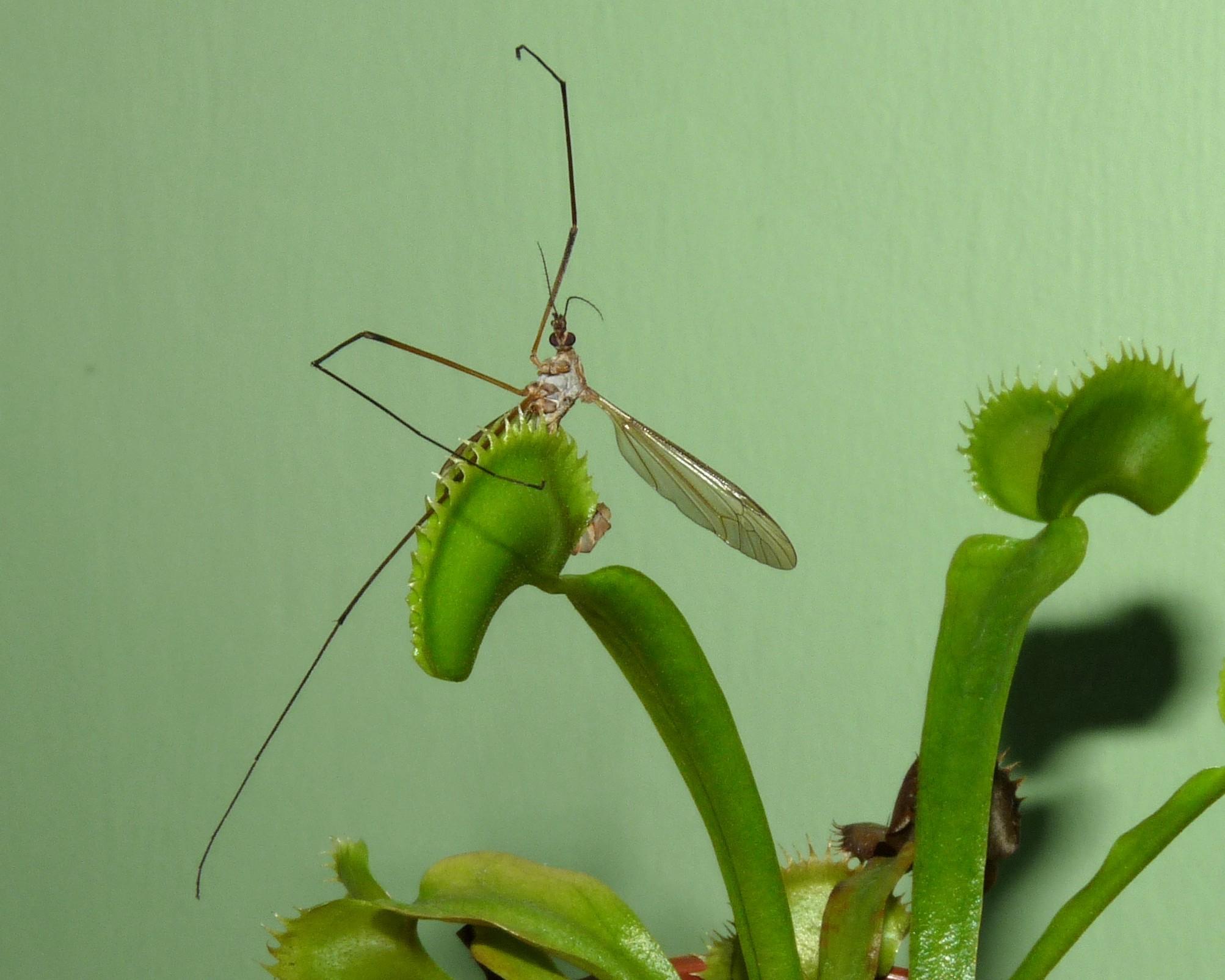 dionea muchołówka z komarem