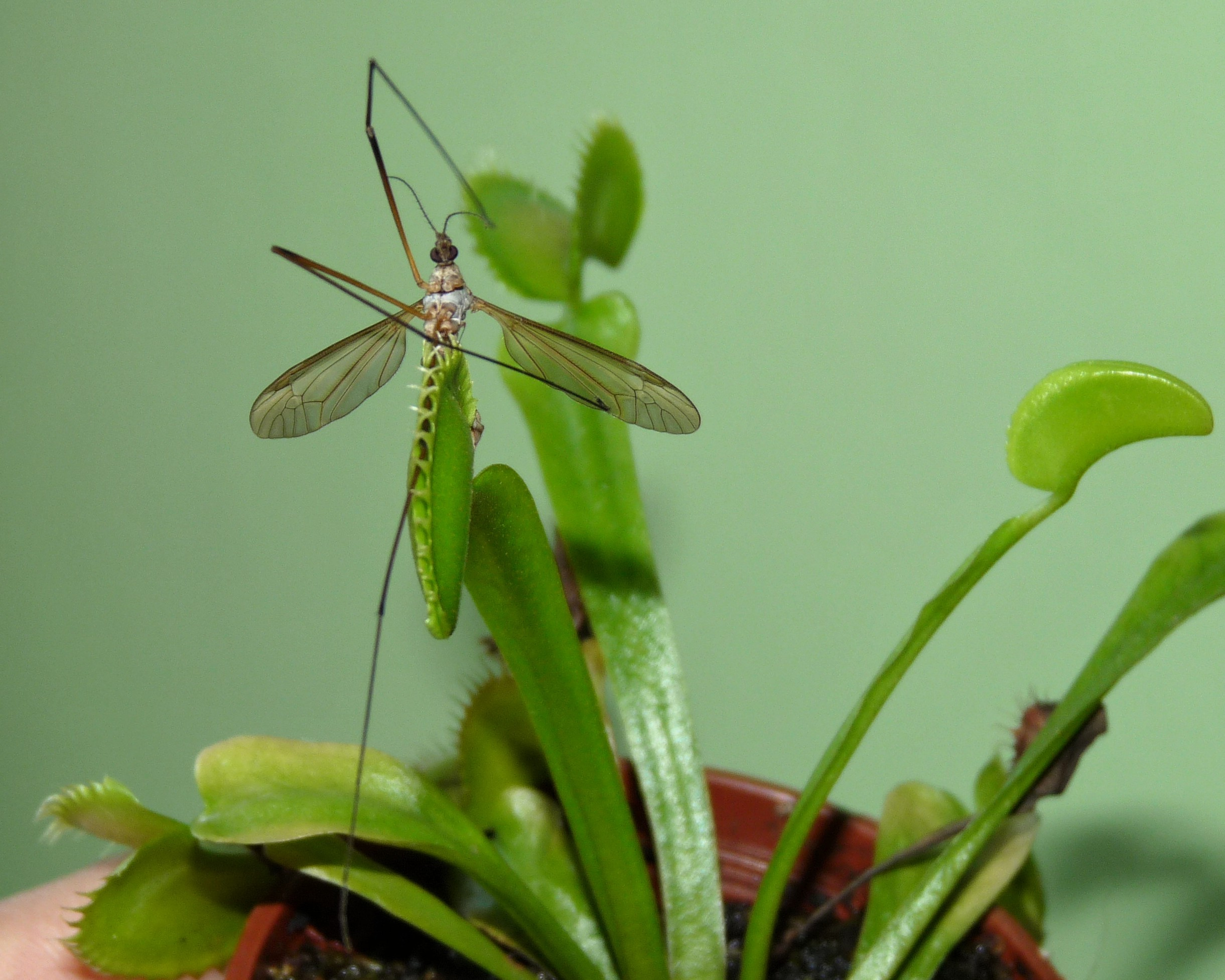muchołówka z komarem