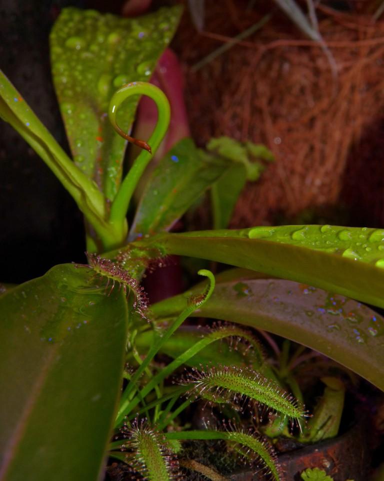ventrata w terrarium