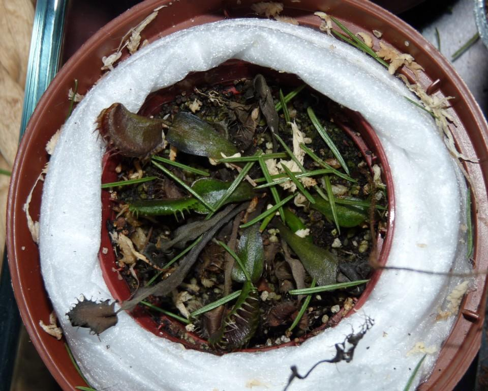 zmarznięta muchołówka2