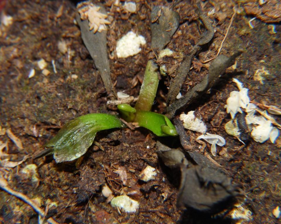 nowe listki muchołówki