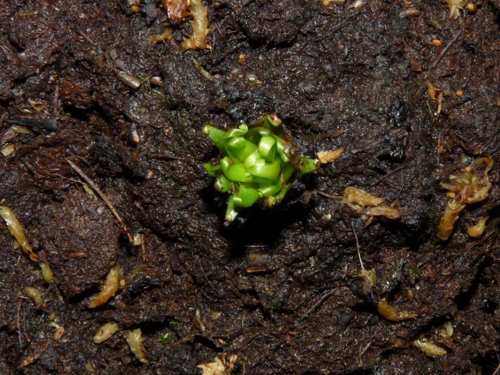 Drosera binata 2