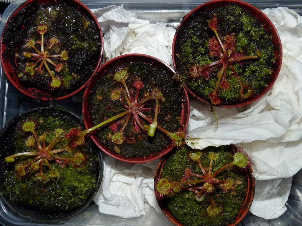 Rosiczki okrągłolistne Drosera rotundifolia