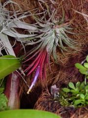 ionantha rubra kwiat5