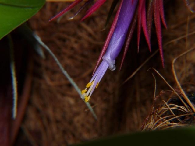 ionantha rubra kwiat6