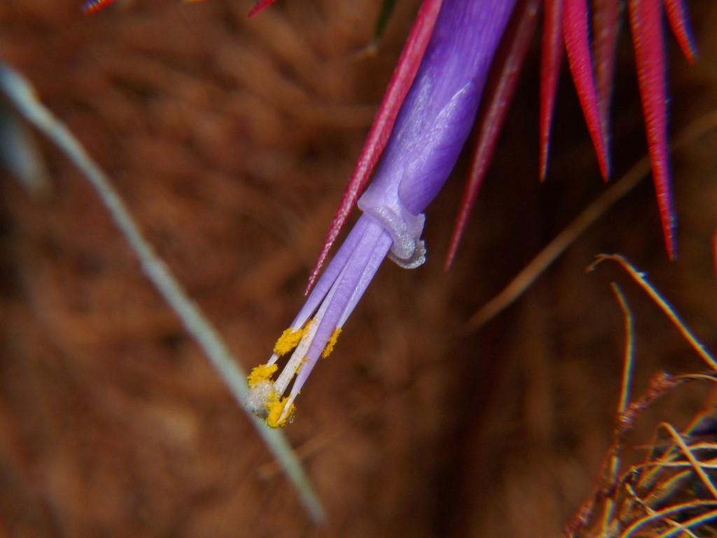ionantha rubra kwiat