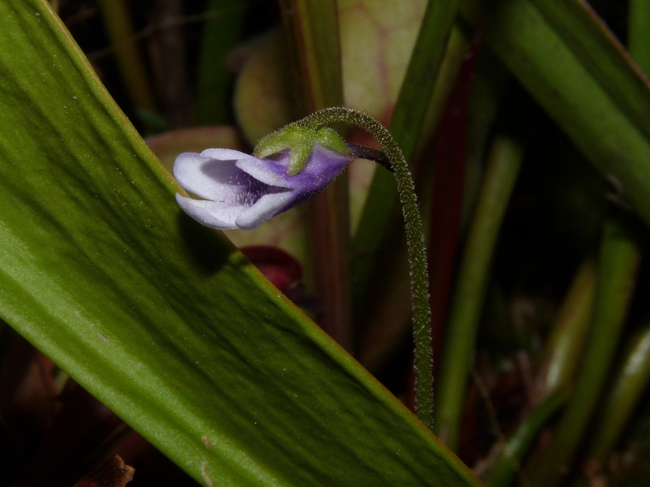 kwiat Pinguicula vulgaris