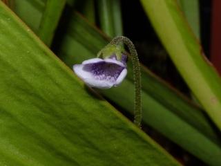 Kwiat P vulgaris