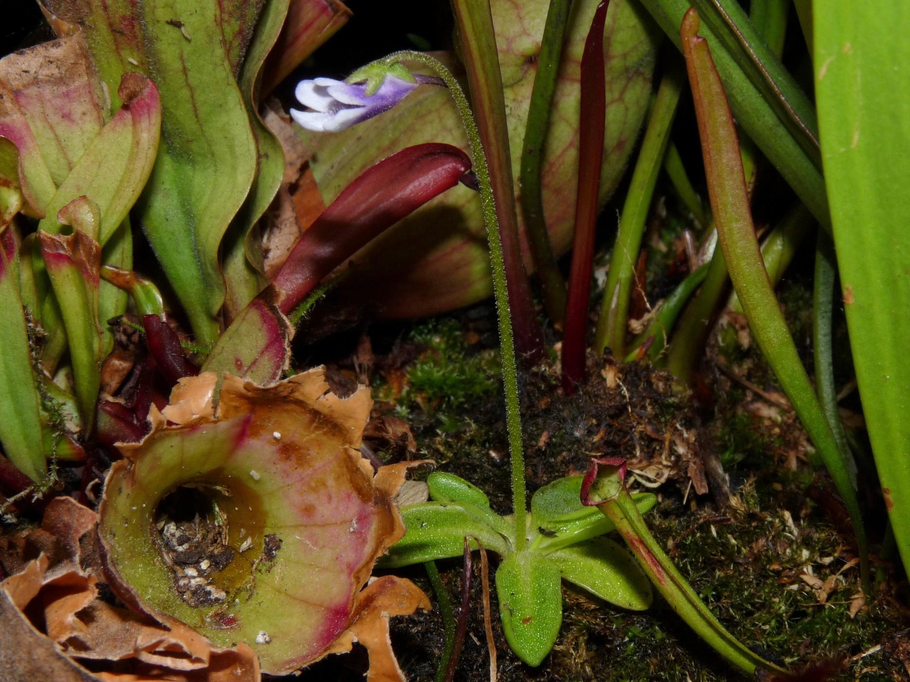 Kwitnący w pełni okazałości P vulgaris