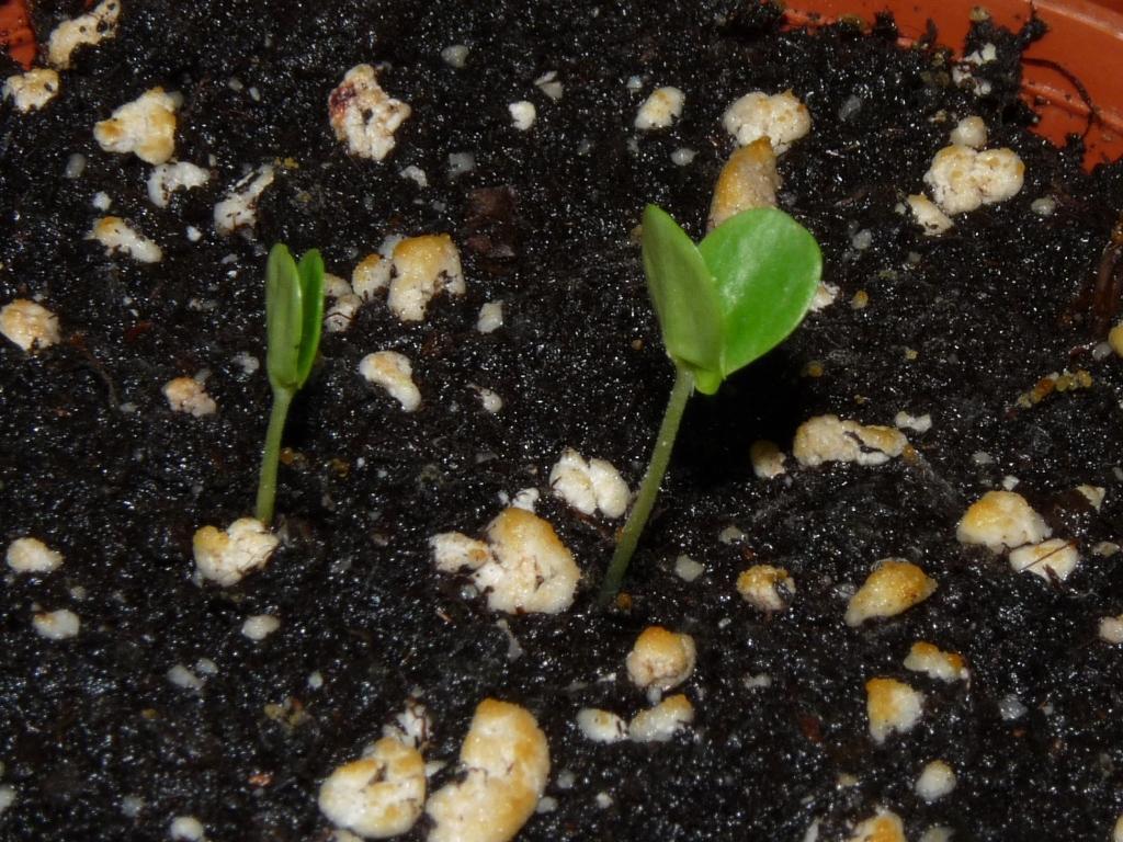mimoza kiełkuje 3