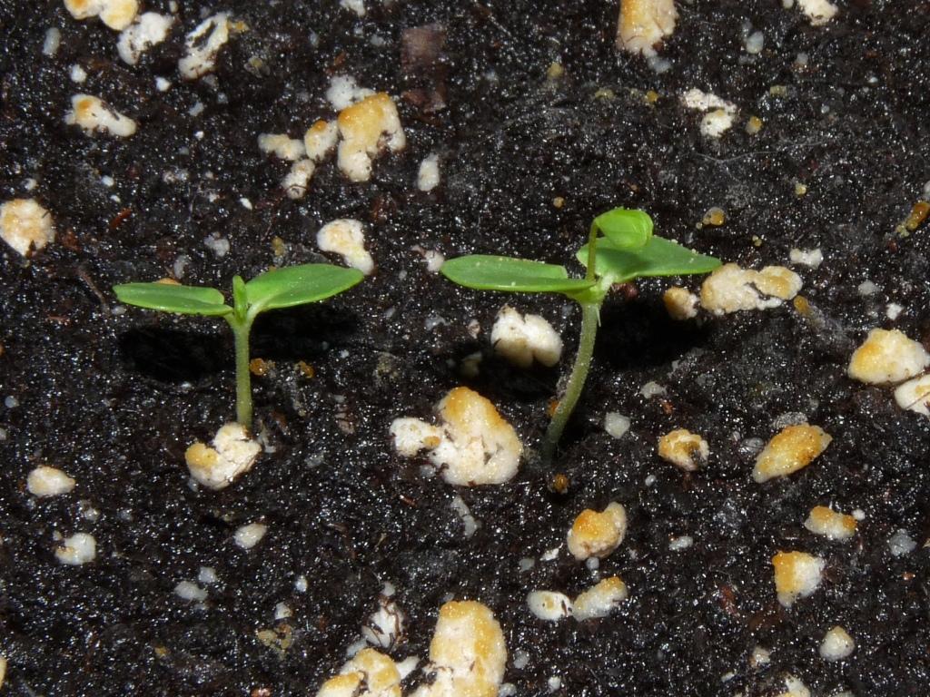 mimoza kiełkuje 5