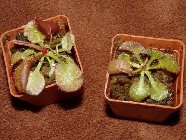 Drosera andromeda