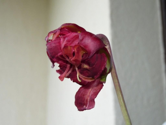Dziwny kwiat kapturnicy 2