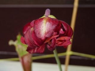 Dziwny kwiat kapturnicy