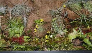 zakwitły na żółto pływacze - utricularia w terrarium