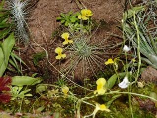 żółte kwiaty pływacza
