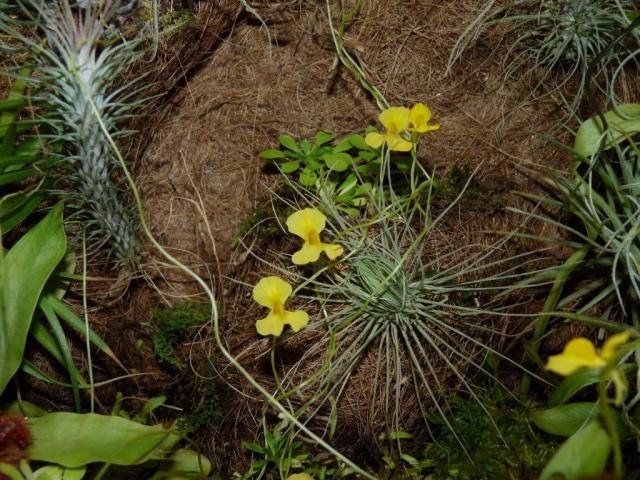 żółte kwiaty pływacza - utricularia